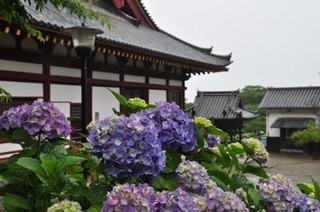 紫陽花と本堂.jpg