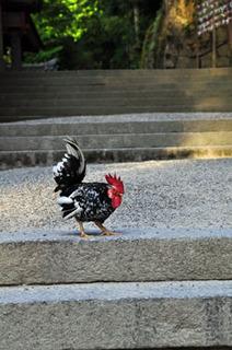 石上神宮鶏.jpg